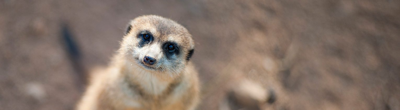 Meet a Meerkat